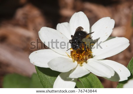 Long-horned Bee (Melissodes bimaculata) - stock photo