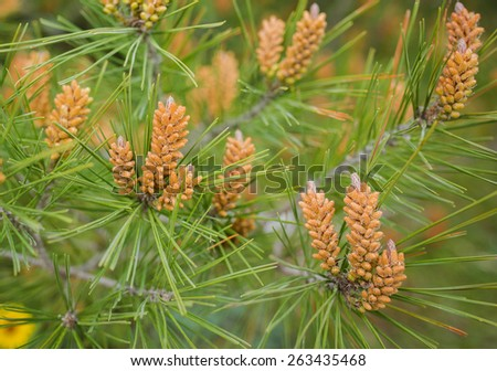 Long-leaf southern pine branches with yellow pollen-producing male cones - stock photo