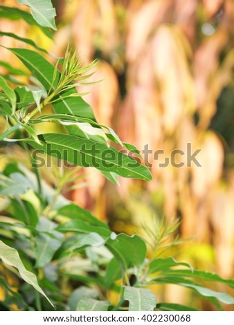 long light yellow green fresh young new mango leaves on the tree reflecting sunlight with outdoor bokeh background on a sunny day after a rainy week. - stock photo