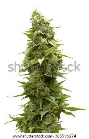 Long Marijuana Bud on Top of Cannabis Plant Isolated by White Background - stock photo