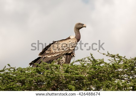 Long neck vulture in a tree