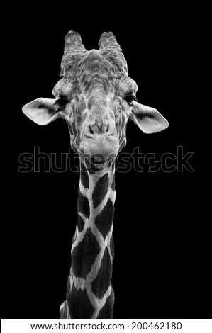 Long necked giraffe close up in black and white against a black background - stock photo