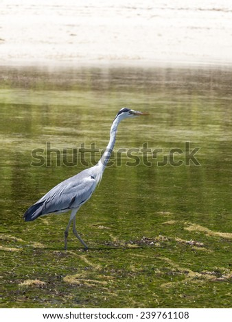long-necked heron hunts at low tide in the Indian Ocean, Seychelles - stock photo