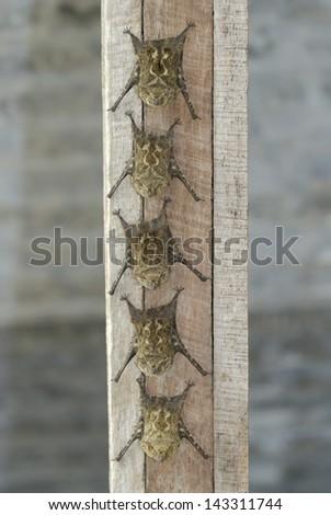 Long-nosed Bats (Rhynchonycteris naso) roosting, Costa Rica - stock photo