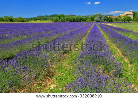 Long rows of mauve lavender on a sunny field in Provence, France
