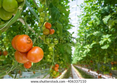 Long rows of tomato plants growing on substrate in a large Dutch greenhouse. - stock photo
