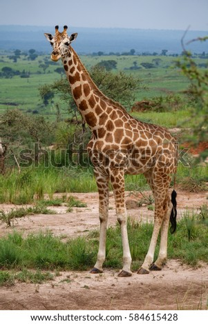 Long shot of single giraffe looking at camera in  Uganda