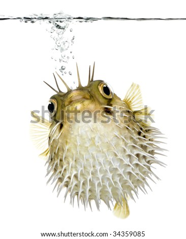 Long-spine porcupinefish also know as spiny balloonfish swimming below the waterline - Diodon holocanthus in front of a white background - stock photo