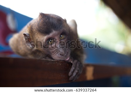 Long tail macaque baby