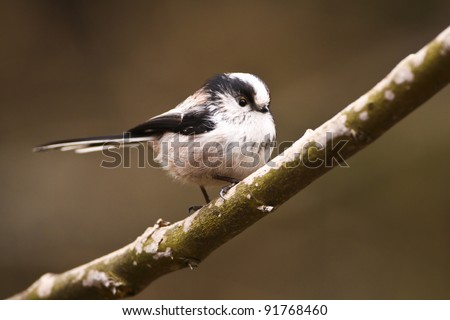 Long Tail Tit perched on Branch