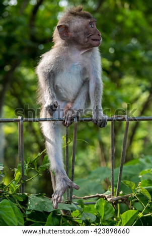 Long-tailed baby macaques (Macaca fascicularis) in Sacred Monkey Forest, Ubud, Indonesia - stock photo