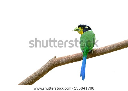 Long-tailed Broadbill ,Greenbird on isolate white background ,Thailand