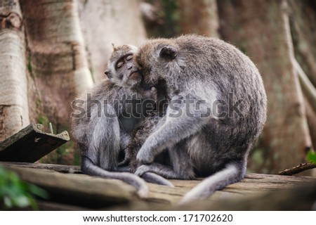 Long-tailed macaque (Macaca fascicularis) in Sacred Monkey Forest, Ubud, Indonesia - stock photo