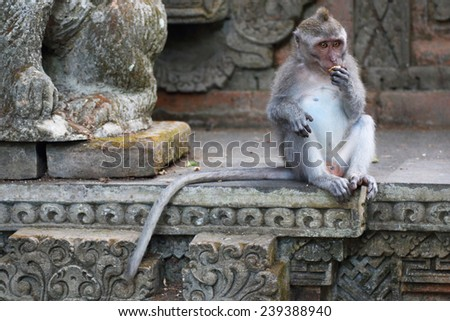 Long Tailed Macaque monkey, in a temple eating - stock photo