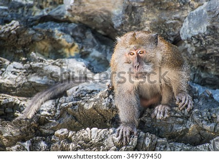 Long-tailed monkey animal portrait on the rock of Thailand island, horizontal natural background or symbol of the Year by Chinese calendar
