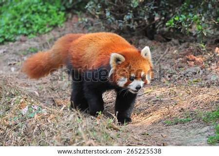 Long tailed red panda bear - stock photo
