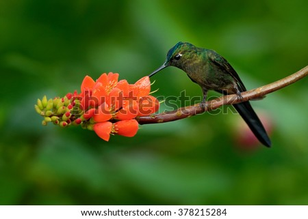 Long-tailed Sylph, Aglaiocercus kingi, rare hummingbird from Colombia, gree-blue bird sitting on a beautiful orange flower, action feeding scene in tropical forest  - stock photo