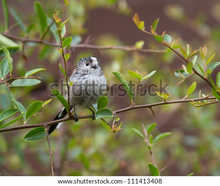 Long-Tailed Tit, (Aegithalos caudatus) on a thin branch surrounded by leaves. - stock photo