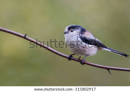 Long Tailed Tit  (Aegithalos caudatus) perched on a branch