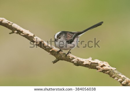 Long Tailed Tit (Aegithalos caudatus) perched on branch covered in fungi