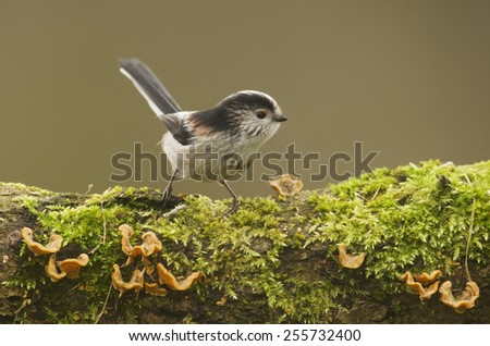 Long Tailed Tit (Aegithalos caudatus) perched on log covered in moss and fungi