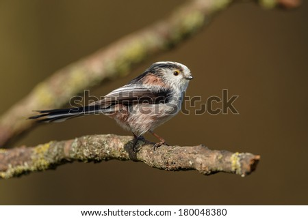 Long Tailed Tit in springtime perched on twig