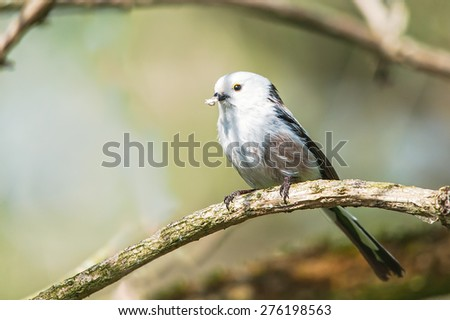 Long-tailed tit on tree branch