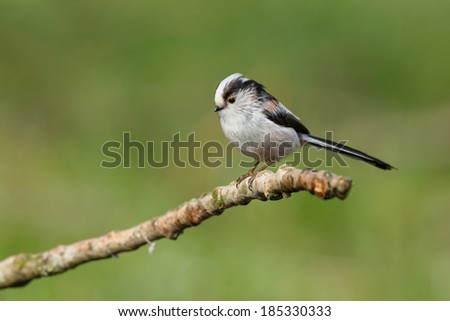 Long tailed Tit perched on a twig