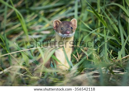 Long-tailed Weasel hiding in tall grass - stock photo