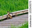 Long tailed weasel standing upright staring at you on a boardwalk around fresh green grass - stock photo