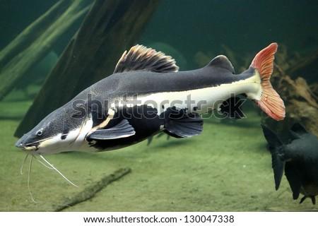 long-whiskered catfish - stock photo