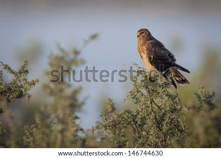 Long-winged Harrier (Circus buffoni) perched. Patagonia, Argentina, South America - stock photo