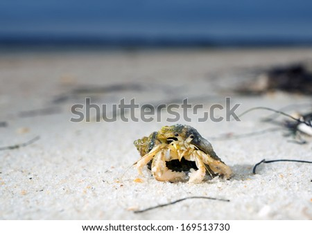 Long-wristed hermit crab on the sandy beach of Florida, USA - stock photo