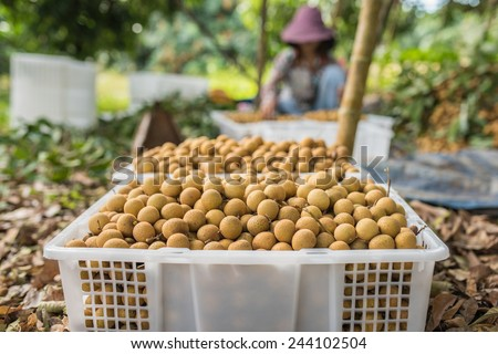 Longan fruit harvesting - stock photo