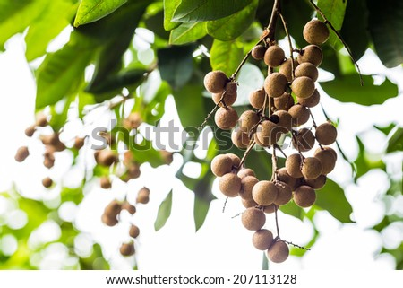 Longan on the green tree. - stock photo