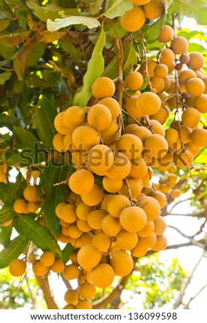 longan tropical fruit on the tree - stock photo