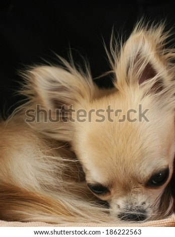 Longhair chihuahua dog curled up in a ball, dozing and resting. Let me sleep