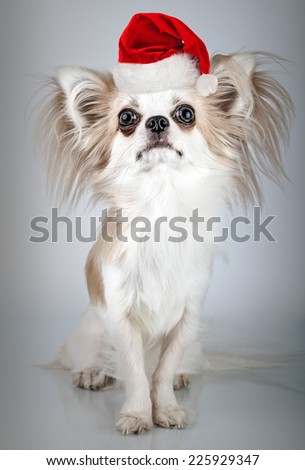 Longhair chihuahua  in Christmas Santa hat. Small dog sitting, looking at the camera