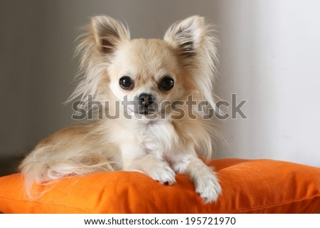 Longhair chihuahua lying and resting on orange pillow indoors - stock photo