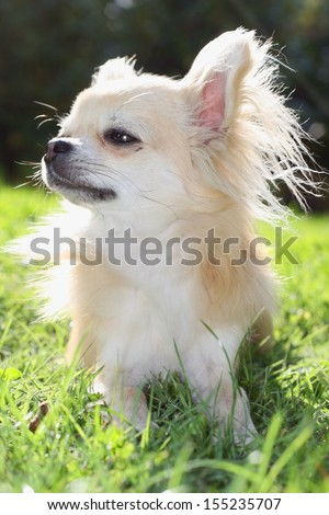 Longhair chihuahua relaxing in the sun, enyoing sunny day in grass in a garden