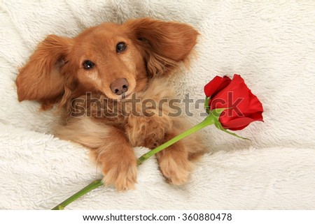 Longhair dachshund in bed with a Valentine rose.