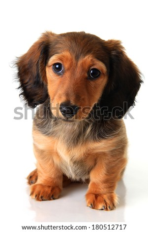 Longhair dachshund puppy isolated on white.