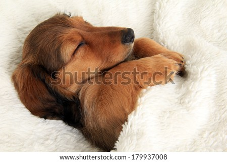 Longhair dachshund puppy sleeping in her bed.  - stock photo