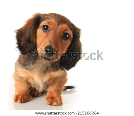 Longhair dachshund puppy studio isolated on white.  - stock photo