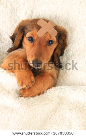 Longhair dachshund puppy wearing a band aid. - stock photo