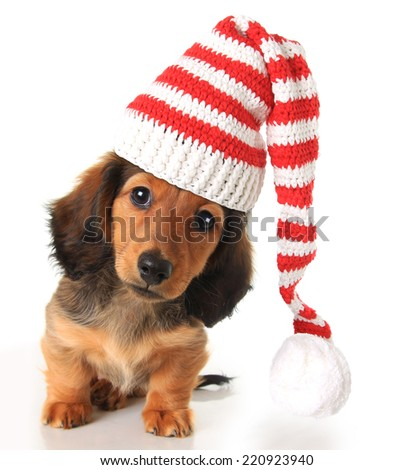 Longhair dachshund puppy wearing a Christmas Santa hat.  - stock photo