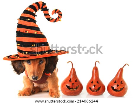 Longhair dachshund puppy, wearing a Halloween witch hat.  - stock photo
