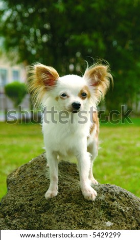 Longhaired Purebreed chihuahua dog