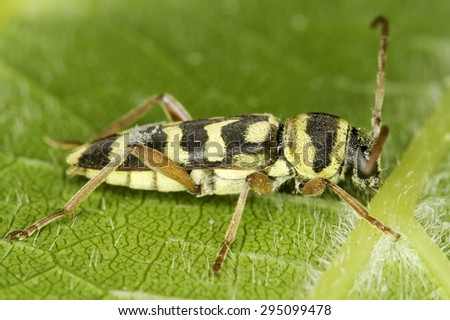 Longhorn beetle in natural habitat / Plagionotus florali  - stock photo