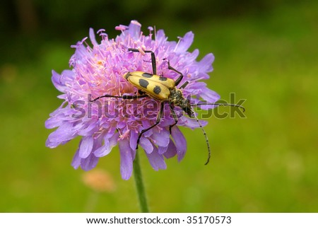 longhorn beetle on field scabious blossom - stock photo